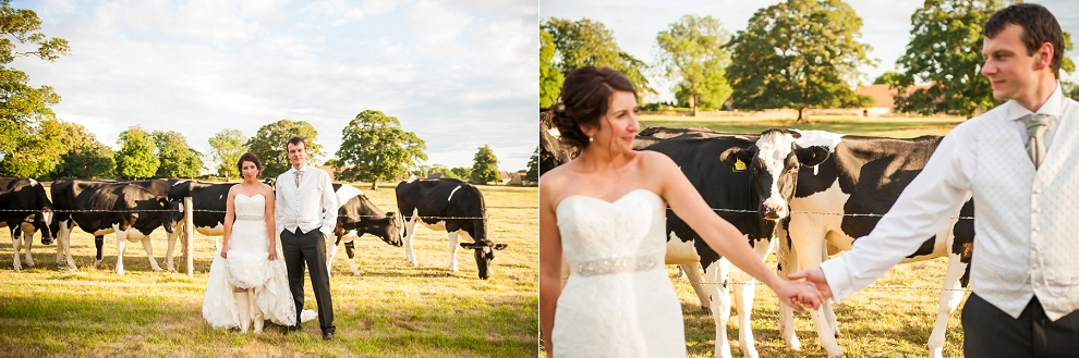 Wedding photo with cows